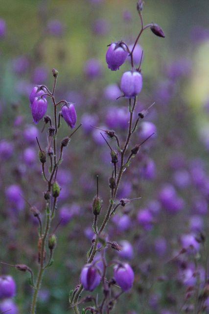 dainty purple