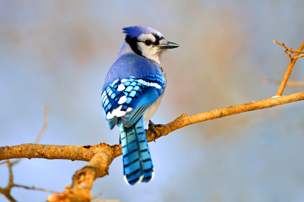 Blue Jay Vyhľadavanie Google Blue Jay Blue Jay Bird Common Birds