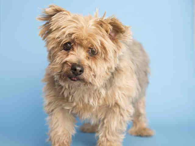 Meet Bear Silky Terrier For Adoption At The Arizona Humane