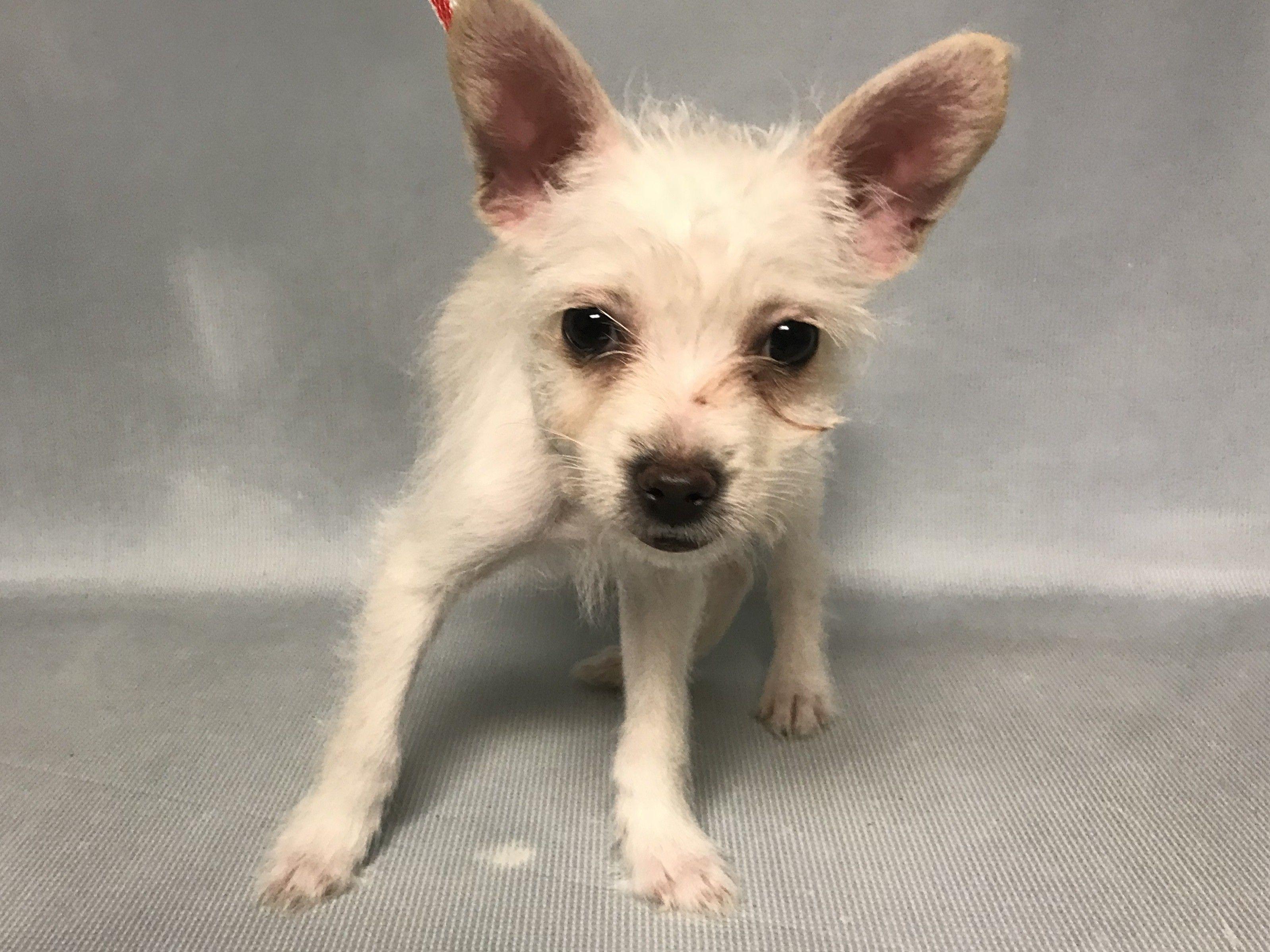 Maggie PieID 39741 Puppy Brooklyn Animal Care Center