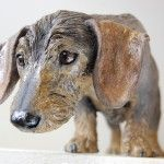 Mini wire-haired Dachshund dog sculpture. This is Ruby, a gorgeous little Dachsie with big bright eyes.