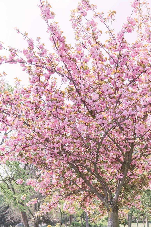 Cherry Blossoms In Paris Spring Photo Diary Pretty Little Details Springtime Photos Spring Photos Cherry Blossom