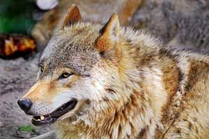 A North American Wolf North American Wolf Mexican Wolf What Do Wolves Eat
