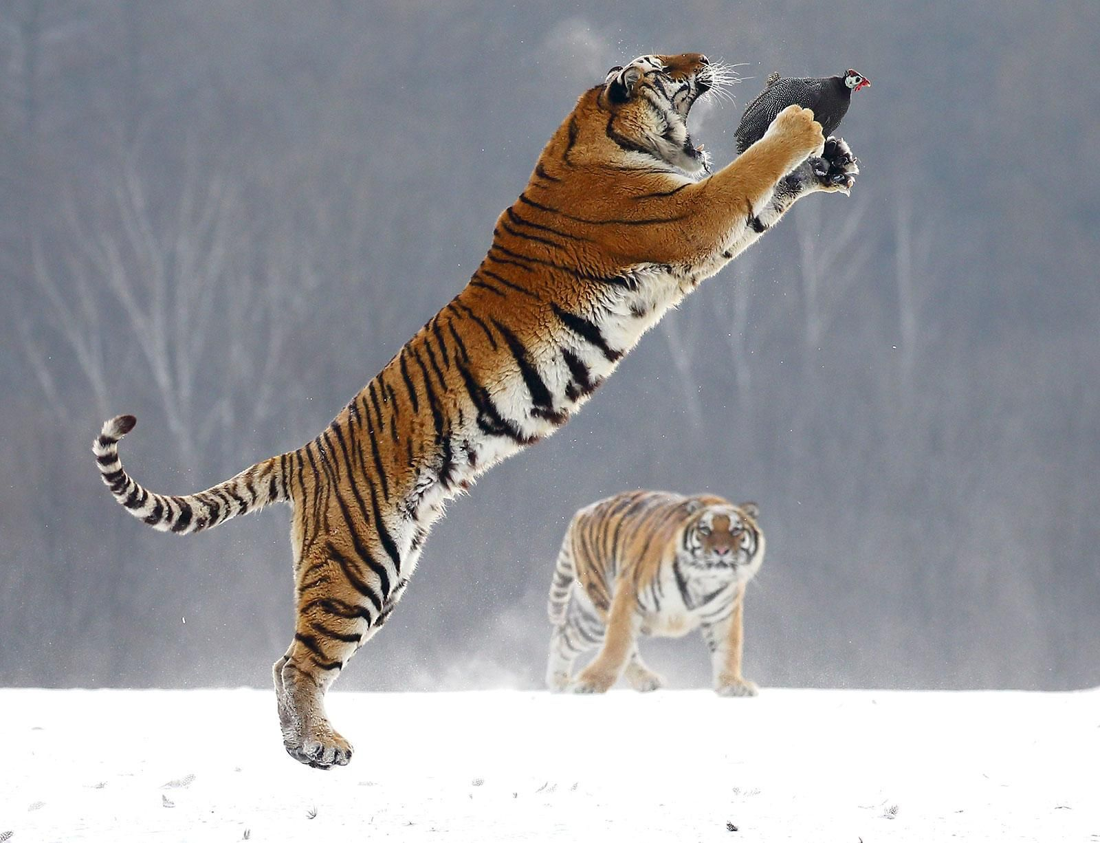PsBattle A tiger leaping for a bird