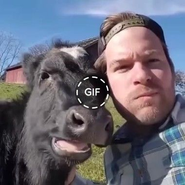[GIF] The cow loves her master too much