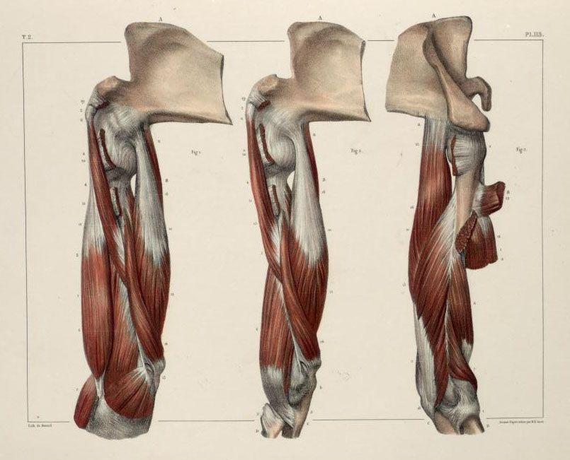 Muscles+of+the+shoulder+and+arm3.jpg (805×651) | Anatomy | Pinterest ...
