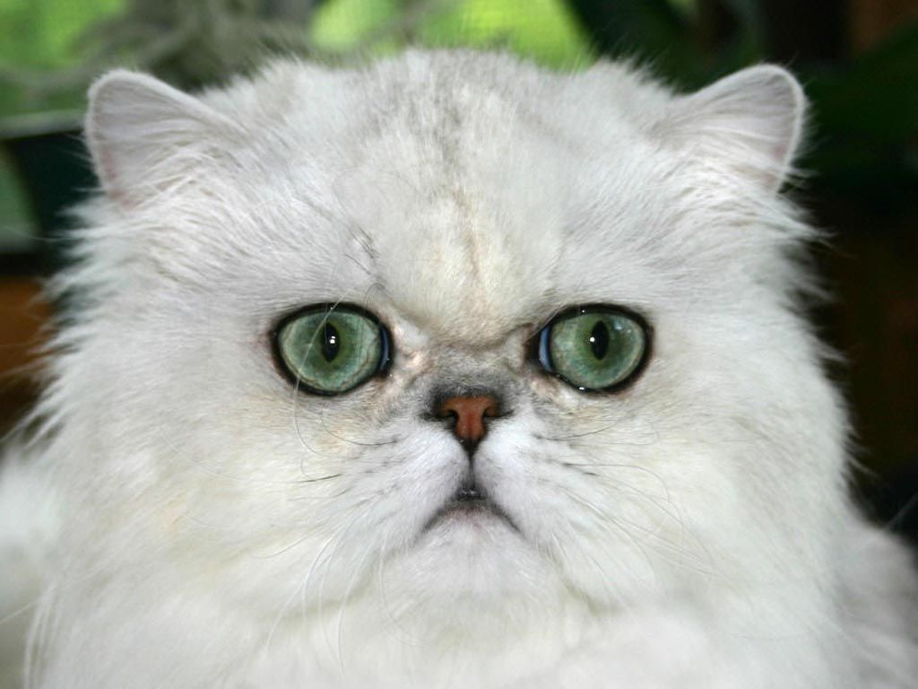 Pin By Lynda Ste Jhourre On Animals Some Funny Some Beautiful Persian Cat Cats Persian Cat White