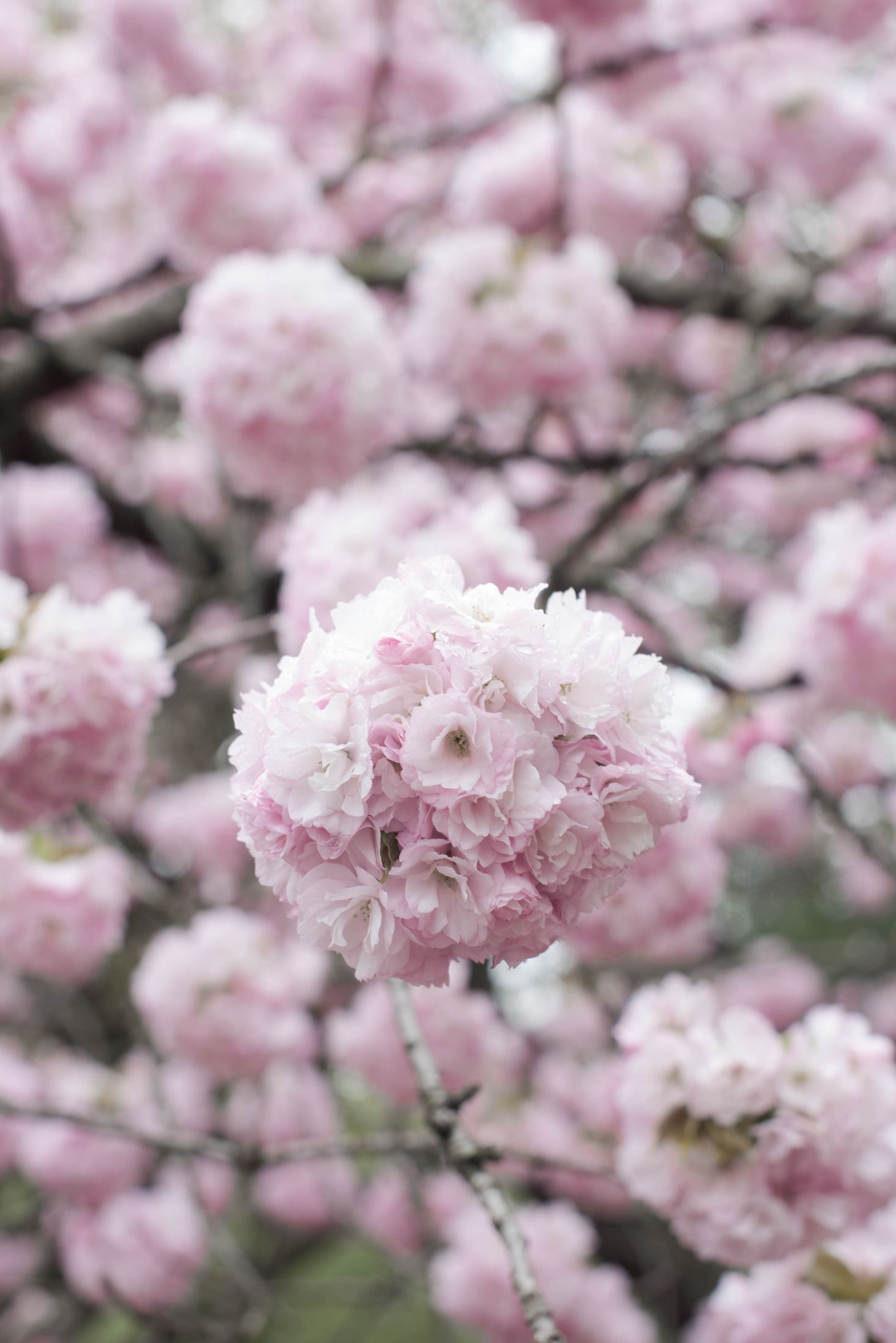 Cherry Blossoms 6 Flowering Trees To Grow At Home Gardenista Cherry Tree Varieties Flowering Cherry Tree Cherry Blossom Flowers