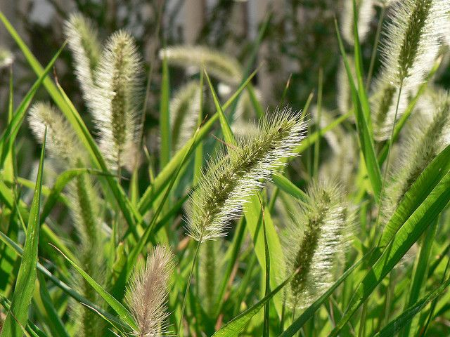 Did You Know Grass Awns Can Kill Pet Checkout This List Of Dangerous Grasses