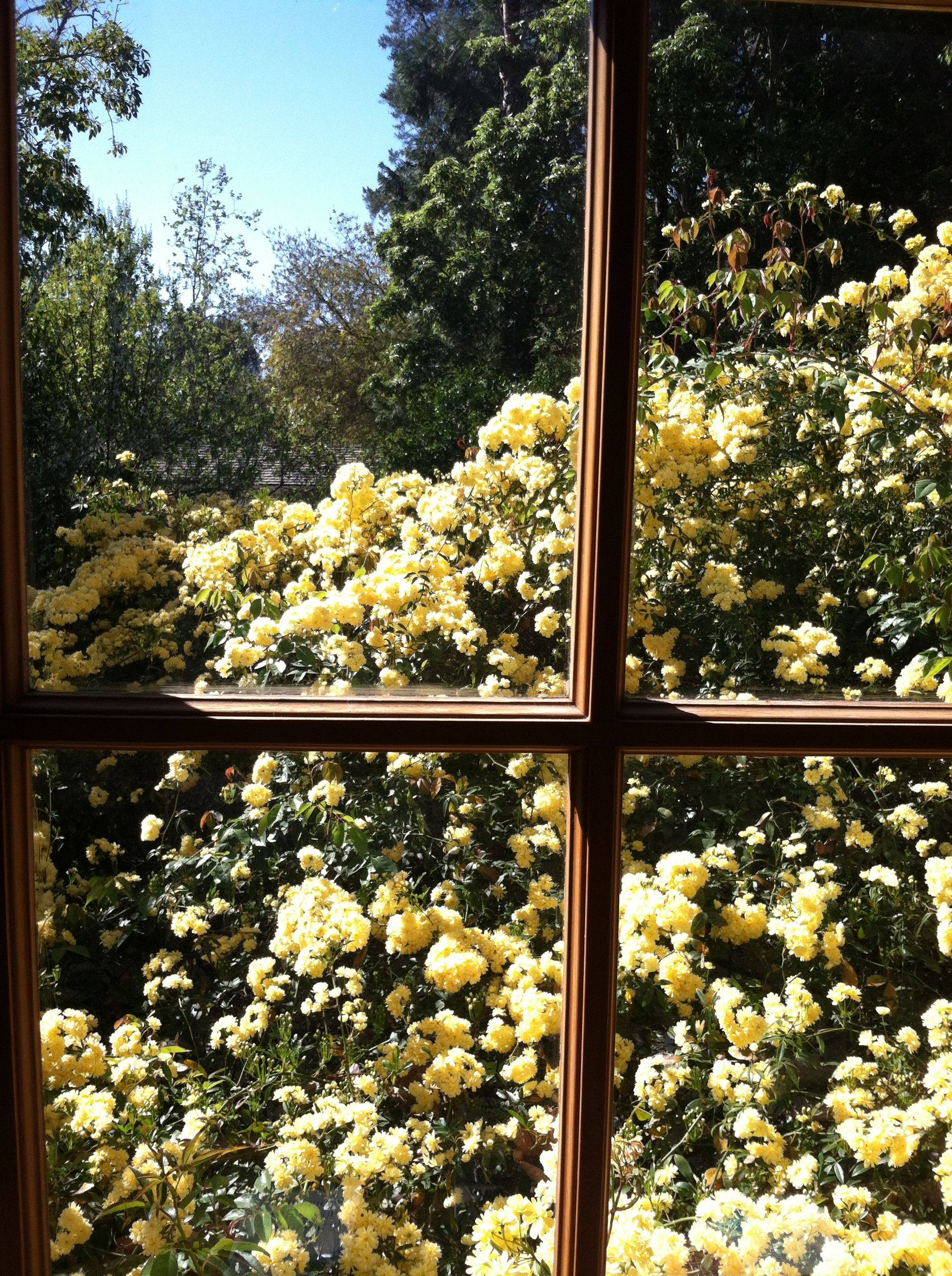 Lady Banksia rose from our office window