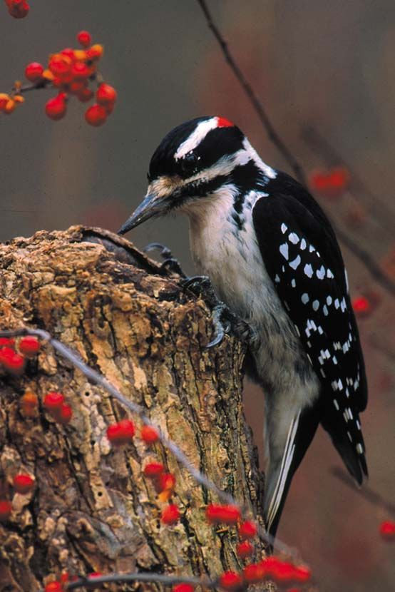 Hairy Woodpecker - If you want to provide good habitat for woodpeckers, consider leaving the dead tree snags in and around your yard.
