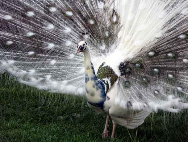 india blue pied peafowl | India Blue Silver Pied Peafowl