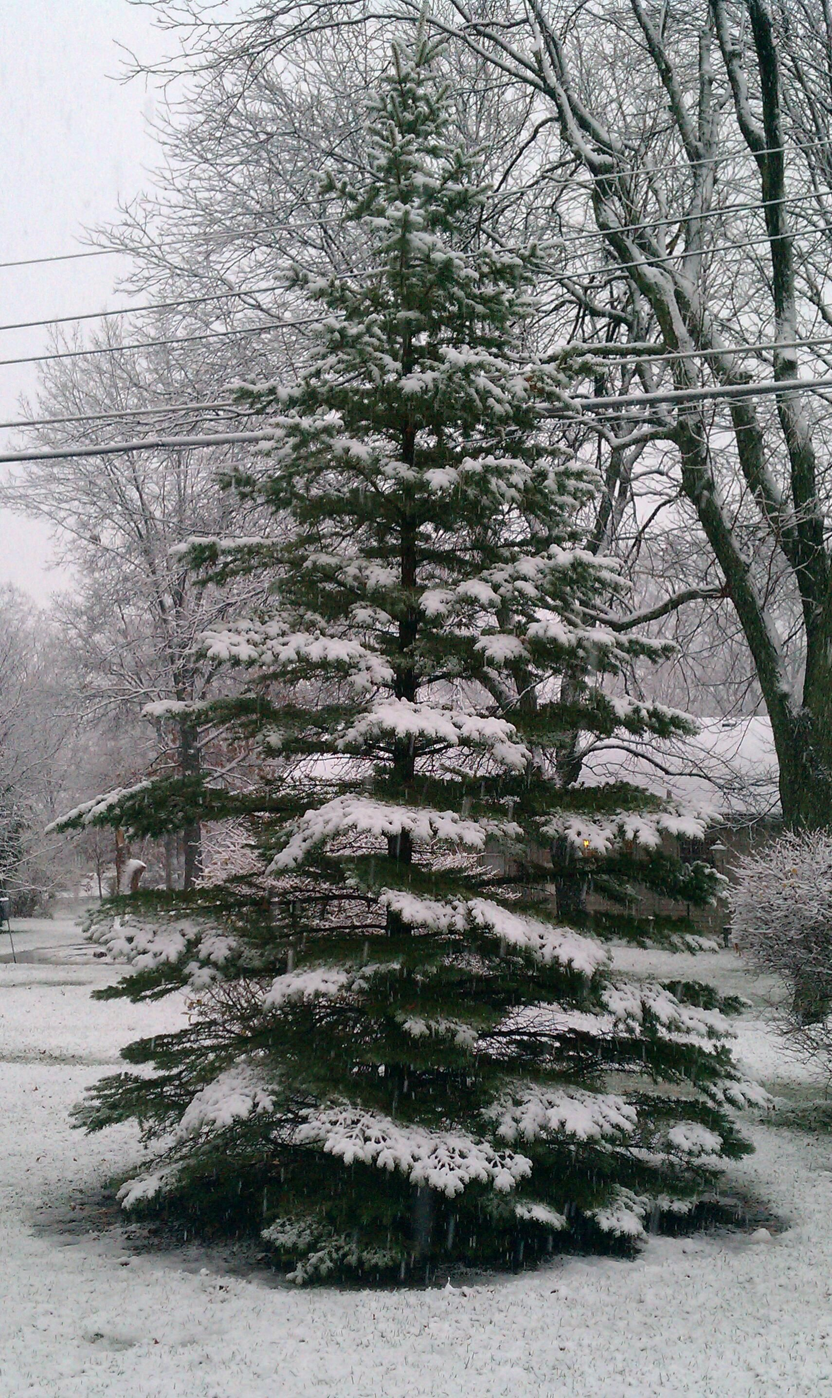 Snow covered pine tree. Lookin out my front door. | Landscapes ...