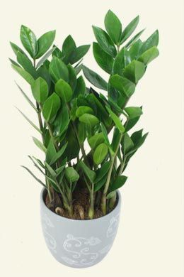 Zamioculcas zamiifolia zz palm a low maintenance indoor for Low maintenance indoor trees