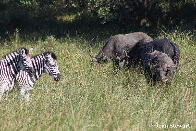 Zebra - Buffalo Buffalo and Zebra grazing on the thick grass offered in the the iSimangaliso Wetland Park.