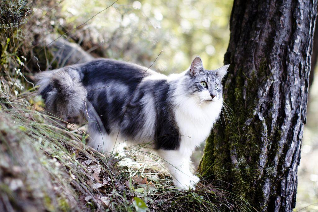 Harvest Norwegian Forest Cat Norwegian Forest Cat Price