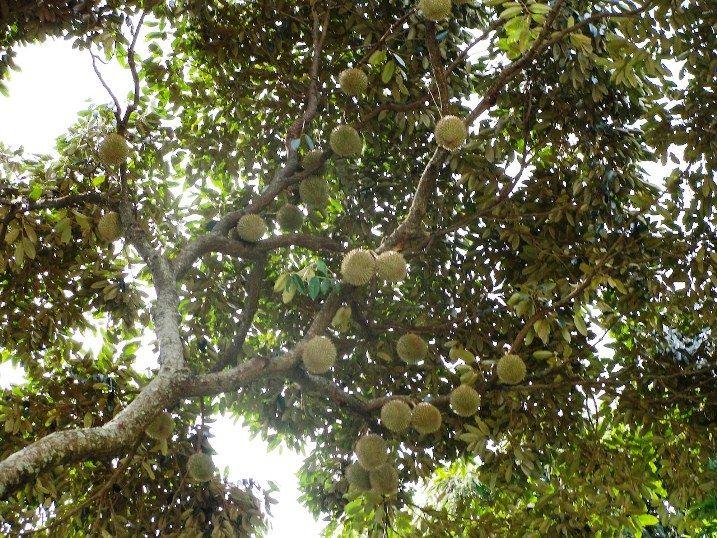durian tree sri lankaweek 3 pinterest durian tree