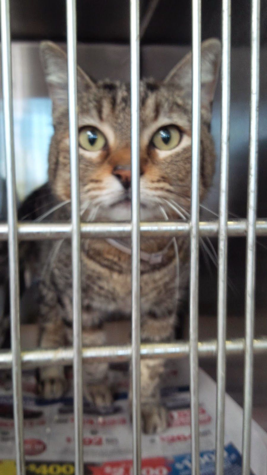 Downey CA This nice Tabby boy was adopted from the high