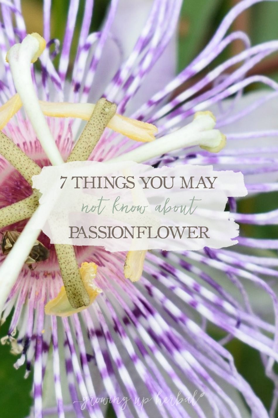7 Things You May Not Know About Passionflower Growing Up Herbal Passion Flower Benefits Passion Flower Herbalism