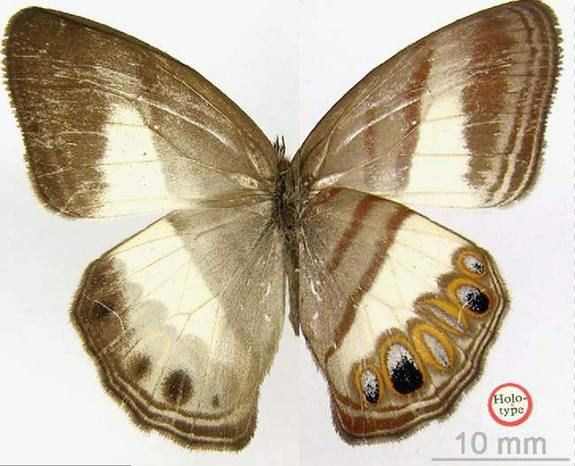 New Butterfly Discovered with Mustache DisguiseCredit: copyright Natural History Museum, LondonThe Splendeuptychia ackeryi butterfly, or Magdalena valley ringlet, whose distinguishing feature is unusually hairy mouthparts.