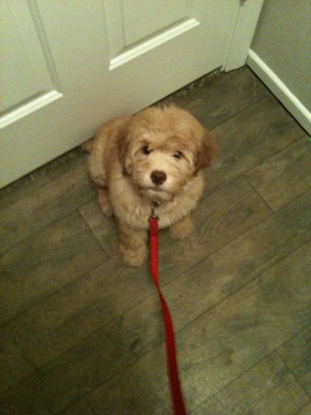 Chow Chow Puppies For Sale In Houston Texas Ideas