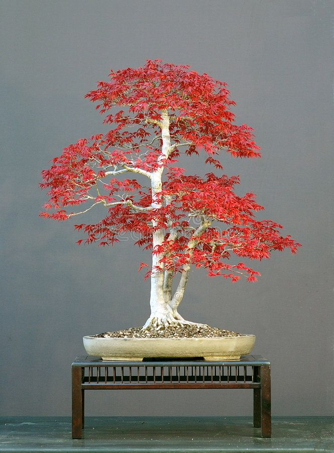 Bonsai Tree 7. Bonsai tree with red foliage , #AFF, #Tree, #Bonsai, #foliage, #red, #tree #ad