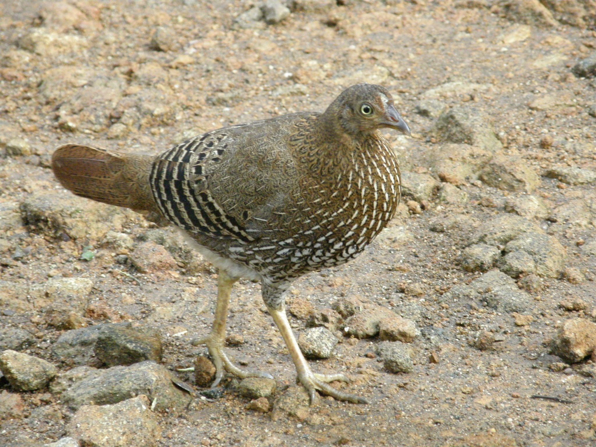 Ceylon Junglefowl (Gallus lafayetii) | Pheasants: Gallus