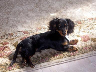 i love dachshunds!!