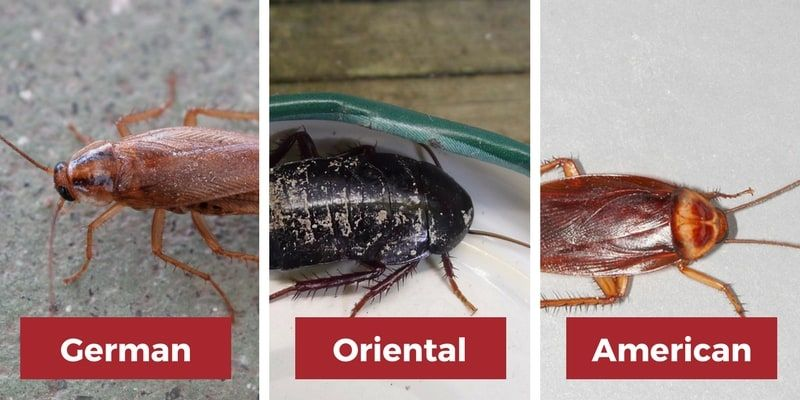 Cockroach Facts Can Cockroaches Fly Jump Or Swim Diy Pest