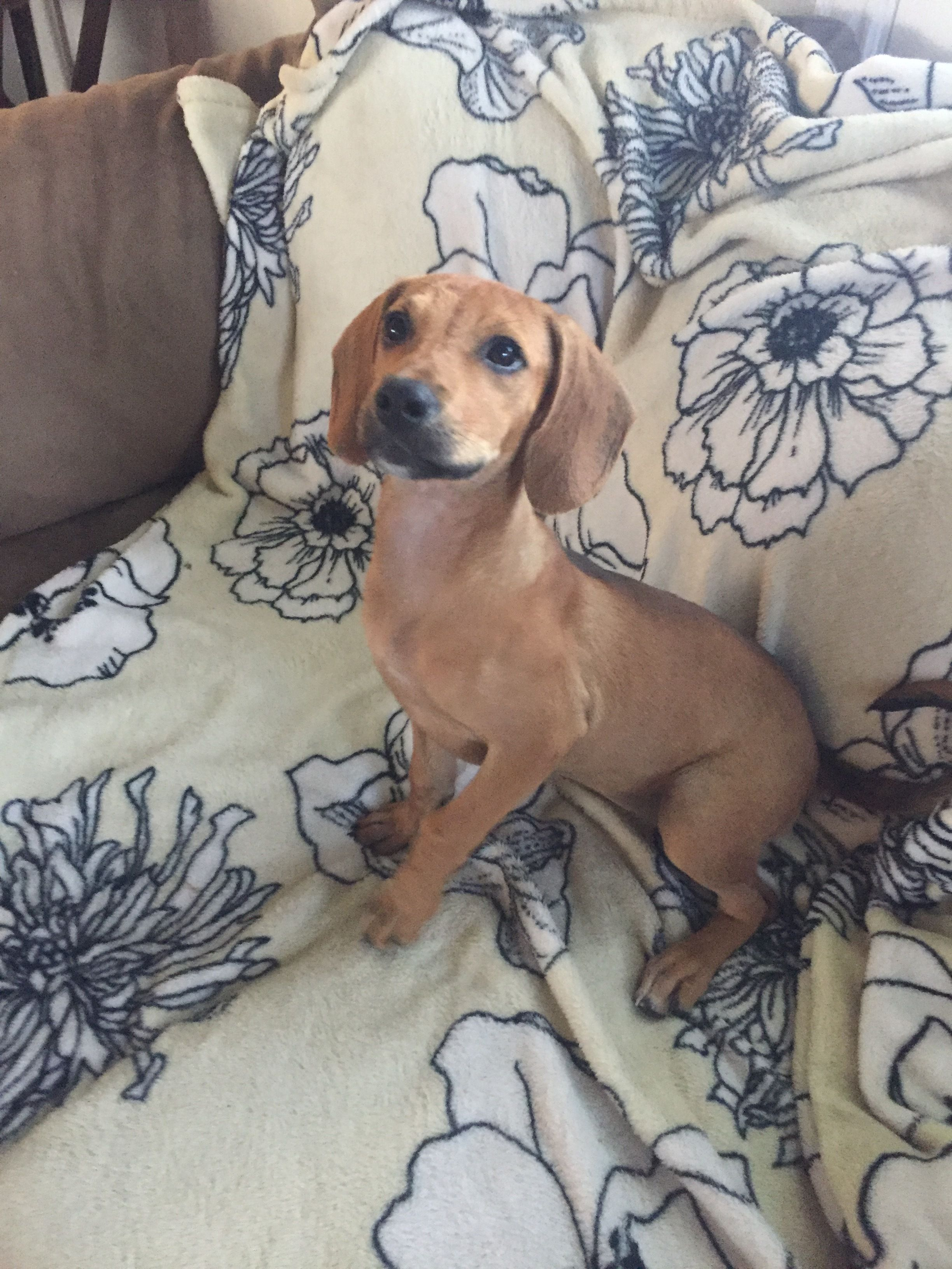 Adopt Willow on Animal rescue, Pet adoption, Dachshund mix