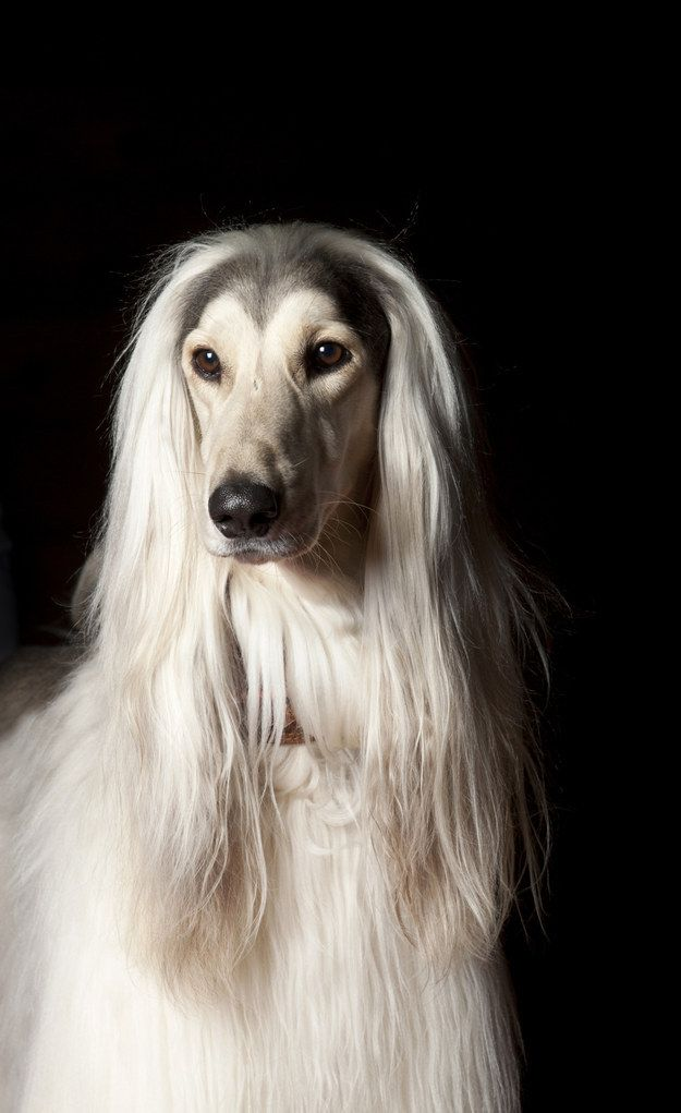 The Slicked Back Part 26 Important Hairstyles You Need To Try Right Now Dog Stock Photo Afghan Hound Dogs