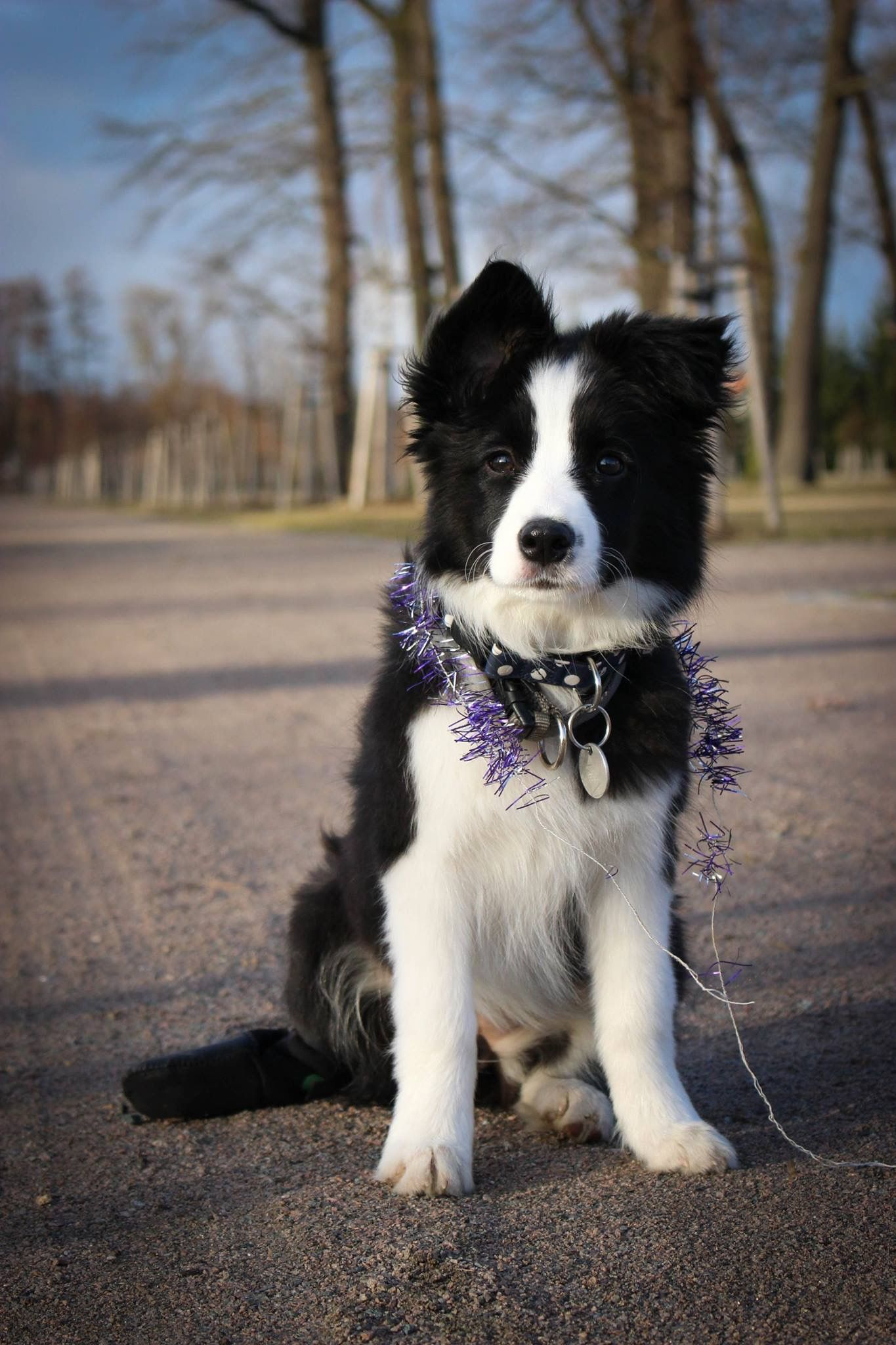 Border Collie Puppy With Images Border Kolie Roztomila
