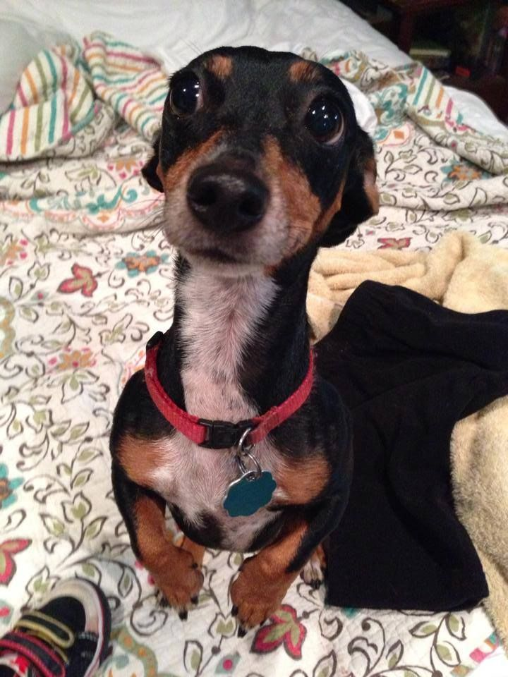 Bitsy is a 6 year old tweenie black and tan dachshund and ...