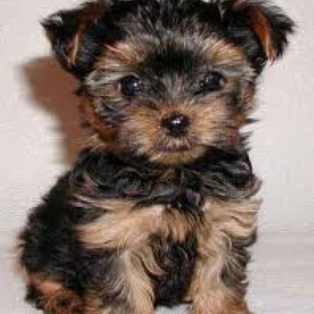 Can Not Wait To Get This Puppy With Images Dog Breeds That Dont Shed Hypoallergenic Dog Breed Yorkie Puppy