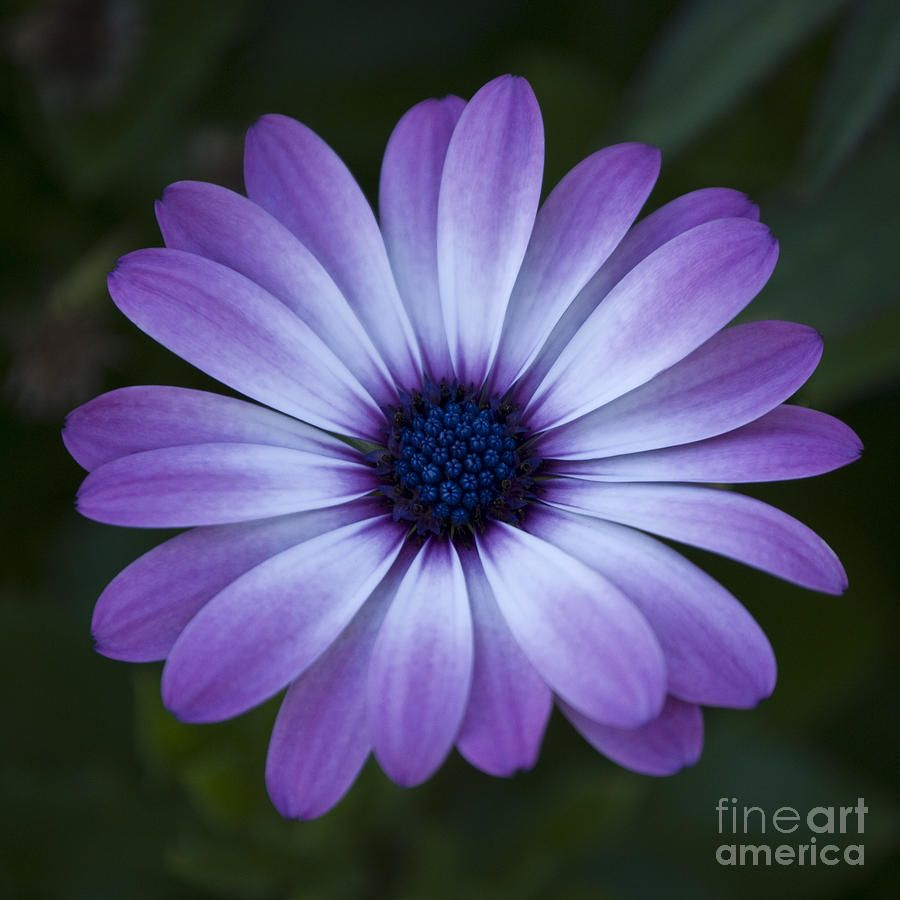 Gerbera Daisy In Purple By Susan Parish With Images Daisy