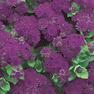 Ageratum Artist Purple Buy Flossflower Annuals Online Annual Flowers Flower Seeds Annual Plants