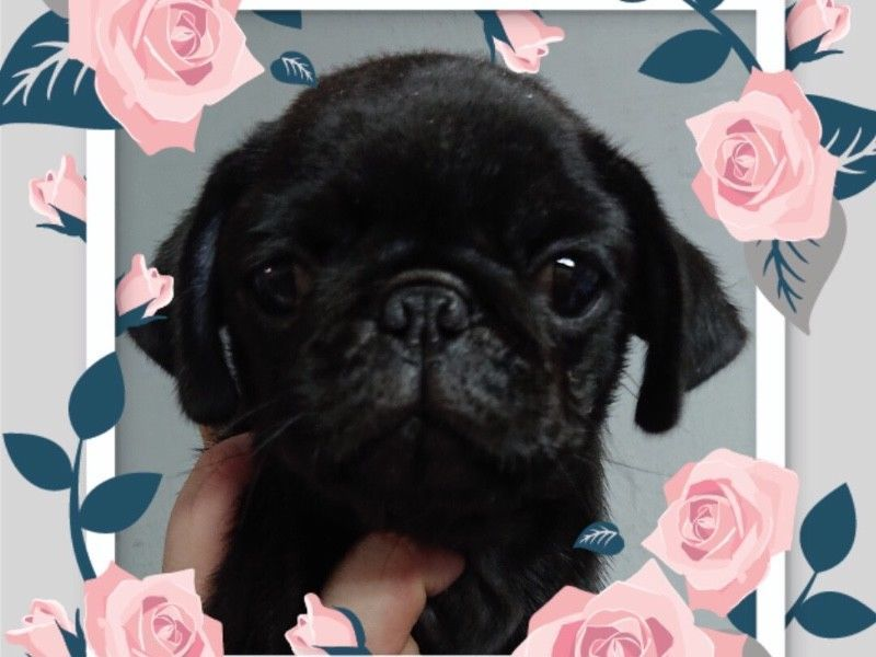 Black Pug Puppies For Sale Singapore Puppies Sale In Singapore