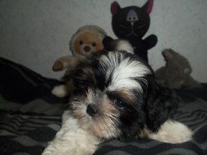 Shih Tzu Poodle Puppy Boy Hamilton Ontario Image 1 Poodle Puppy