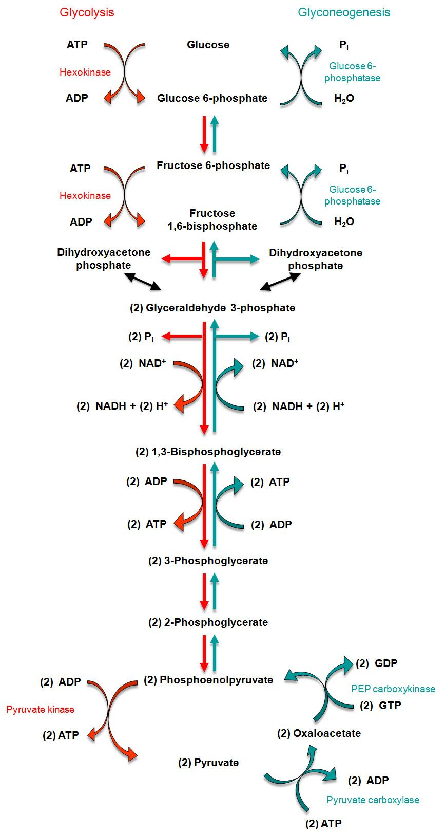 gluconeogenesis | Relationship between glycolysis and ...