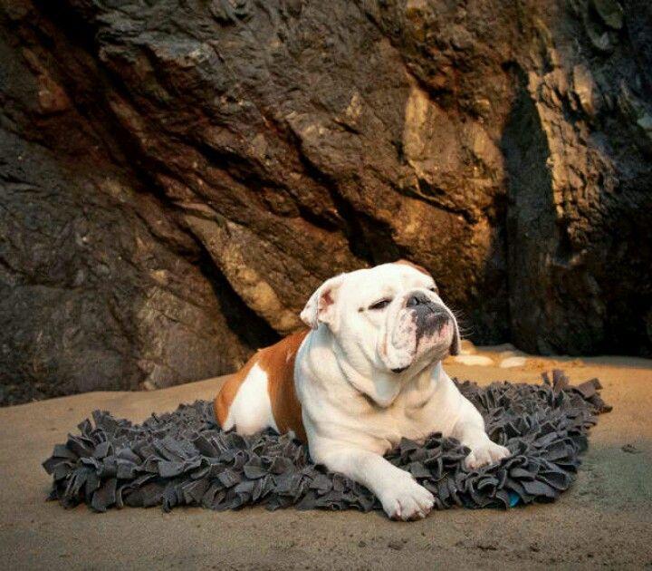 Bulldog #walterthefrenchbulldog