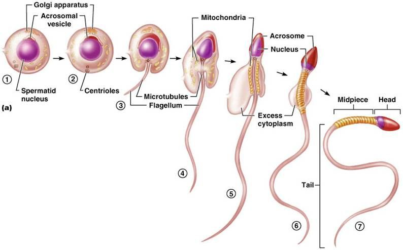 Reproductive Systems Male And Female And Lactation -9025