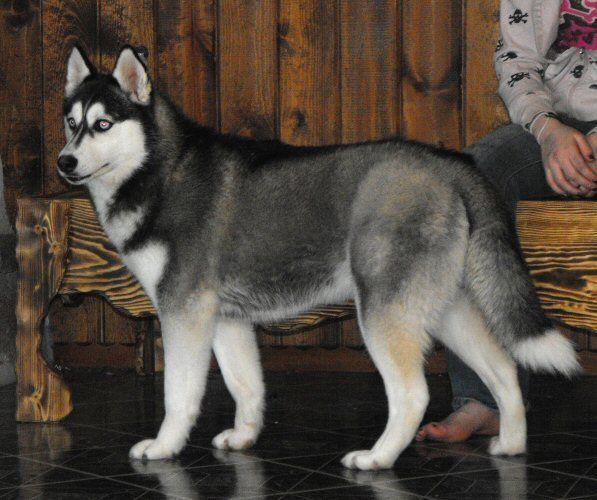 Siberian Husky Coat Colors White Husky White Husky Dog Husky