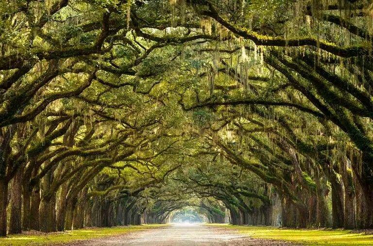 Long path lined oak trees savannah