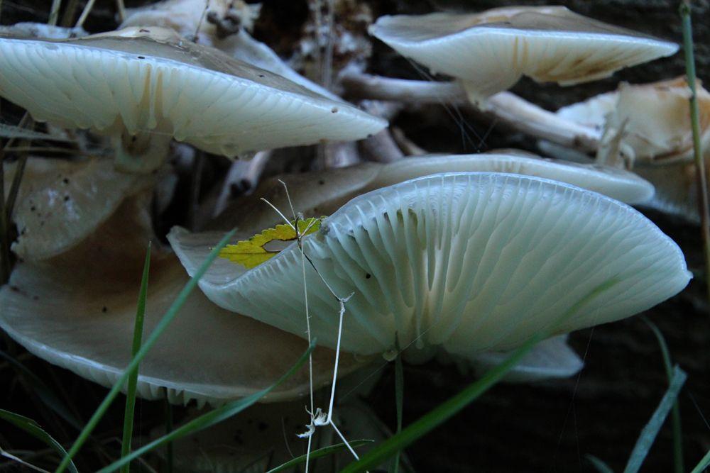 porseleinzwam (Oudemansiella mucida