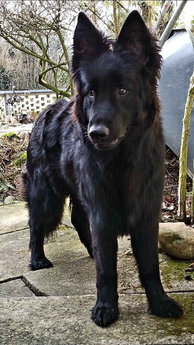 Pin Von Kelly Ann Merwin Auf Dogs Schaferhunde Hunde Schwarze Hunde