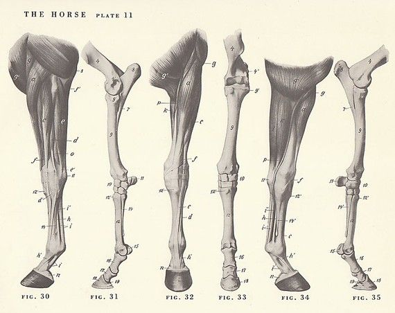 Vintage Horse Leg Anatomy Illustration Book Page Animal Anatomy