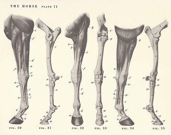 Vintage Horse Leg Anatomy Illustration Book Page | Animal anatomy ...