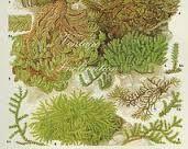 Image result for botanische zeichnungen moss