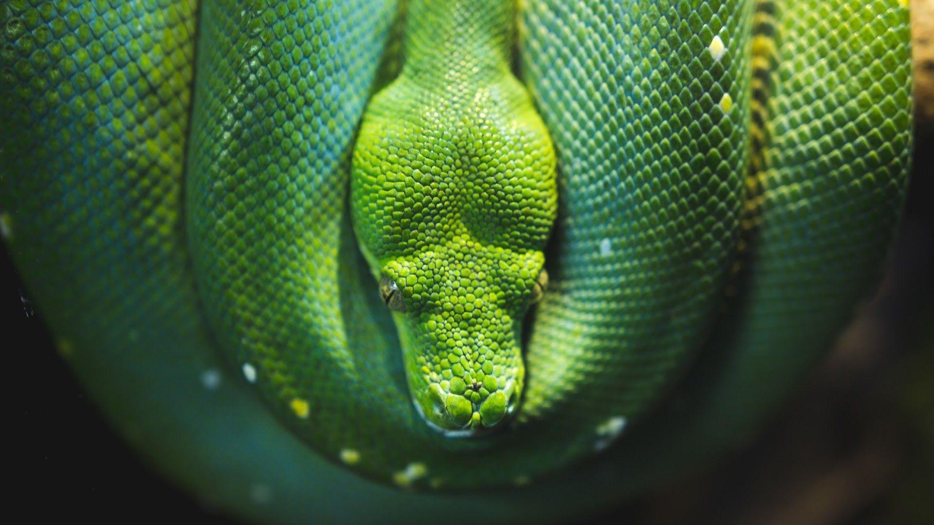 Snake Green Tree Python Wallpapers 4k Hd Desktop