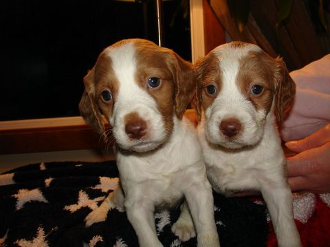 Litter of 9 Brittany puppies for sale in HEATH, MA. ADN